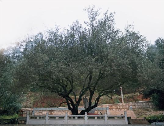 周恩来总理亲临海口林场种植油橄榄树
